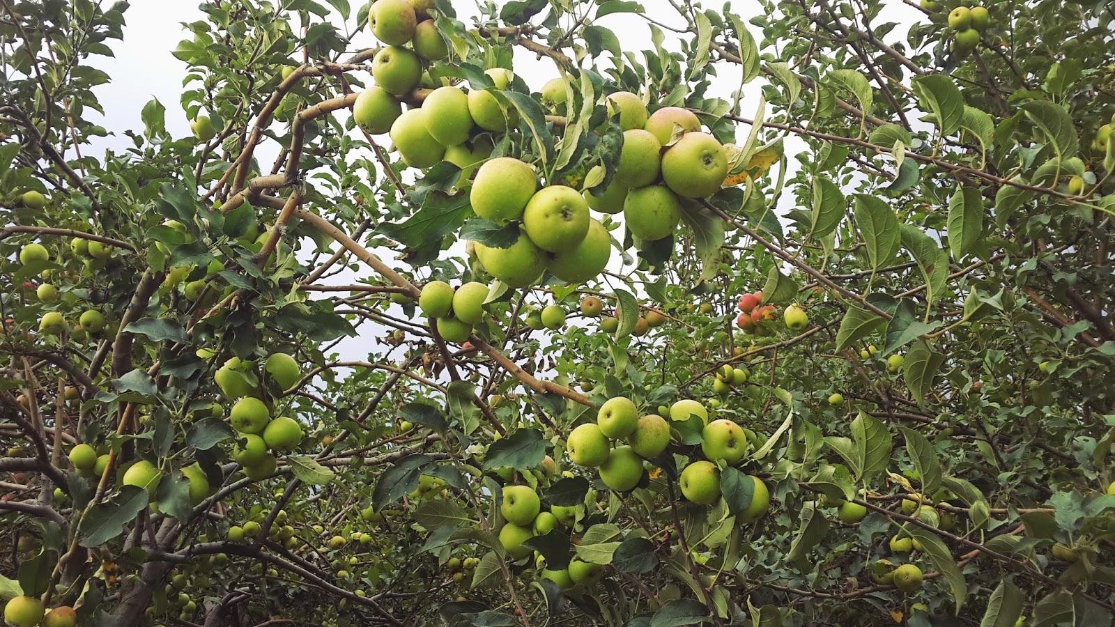 petik-apel